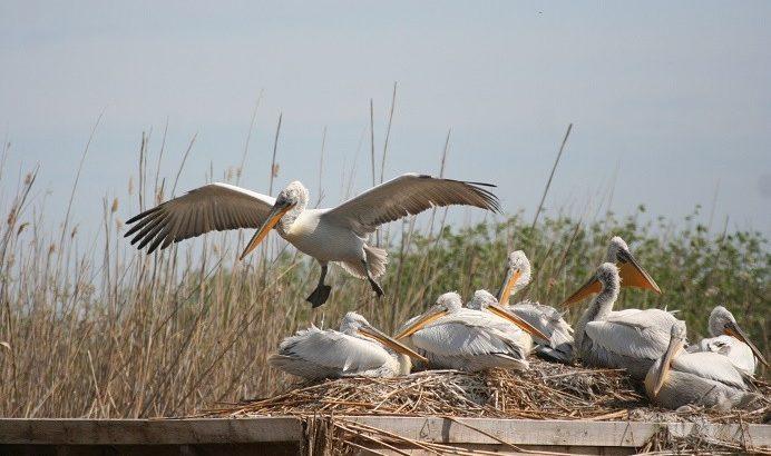 """Къдроглавите пеликани в """"Сребърна"""""""