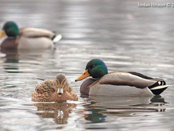 зеленоглавата патица