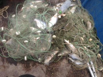 15 кг. хваната от бракониери риба върна обратно в Дунав ИАРА - Русе