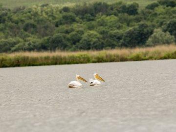 """Розови пеликани се излюпиха в резервата """"Сребърна"""""""