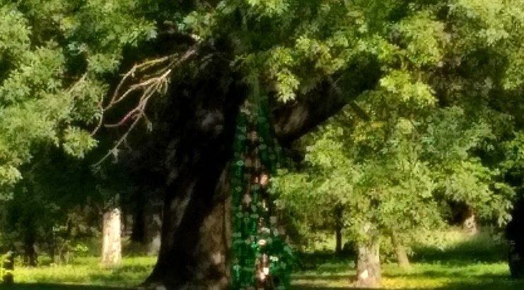 Бутилково дърво се появи в Парка на младежта