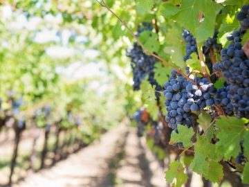 грозе гроздобер лозя есен
