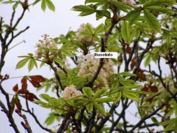 Цъфнали кестени в Русе предвещават много студена зима според народните вярвания