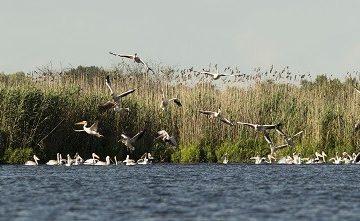 РИОСВ - Русе: Колонията на къдроглавия пеликан в Сребърна се обнови с около 100 млади екземляра