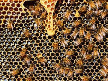 мед пчели