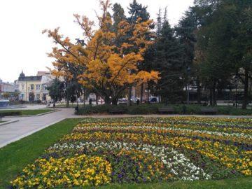 Русенци събират листа от гинко билоба в градската градина за чай