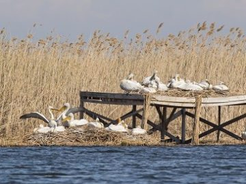 """РИОСВ - Русе: Първите пеликанчета вече се излюпиха в резервата """"Сребърна"""""""