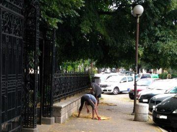 Събират липовия цвят с метене дори пред Русенската митрополия