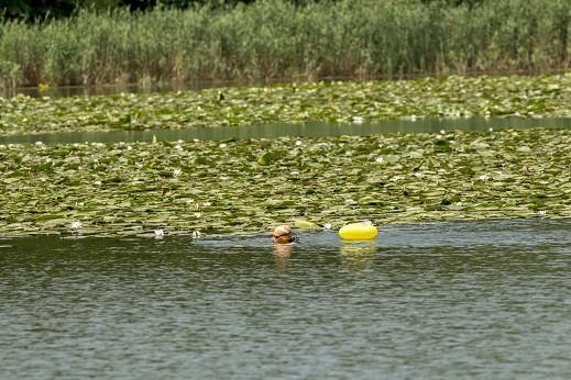 Русенецът Теодор Цветков преплува вчера езерото край село Малък Преславец