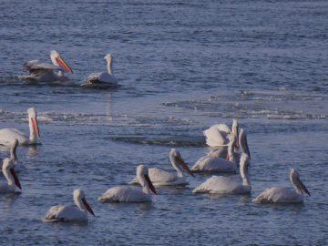 Предстои 44-тото преброяване на зимуващите водолюбиви птици в България