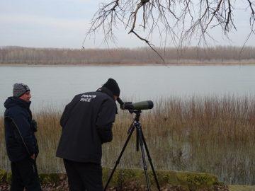 Тундрови лебеди са наблюдавани по време на Среднозимното преброяване на птиците по поречието на Дунав