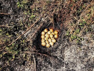 Десетки фазанчета загинаха при пожар в Гюргево