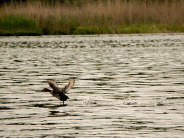 РИОСВ - Русе: Птиците в езерото Сребърна са в размножителен период
