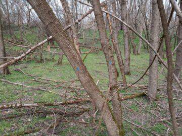 """РИОСВ - Русе: На територията на поддържан резерват """"Сребърна"""" ще бъде извършена сеч на инвазивни дървесни видове"""